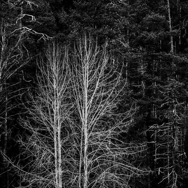 Hvite trær, fotokunst veggbilde / plakat av Kjell Erik Reinhardtsen