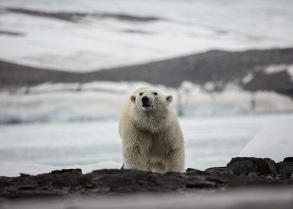 Målretta isbjørn, fotokunst veggbilde / plakat av Kjell Erik Reinhardtsen