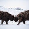 To høylandsfe tar kontakt, fotokunst veggbilde / plakat av Kristoffer Vangen