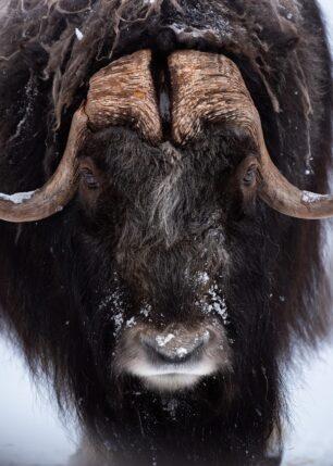 Moskus i vinterstemning, fotokunst veggbilde / plakat av Kristoffer Vangen