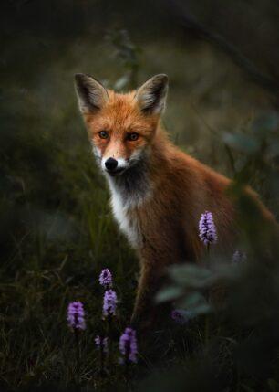 Rev i skogen, fotokunst veggbilde / plakat av Kristoffer Vangen
