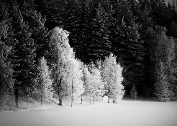 Trær i kulde, fotokunst veggbilde / plakat av Kristoffer Vangen