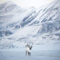 Rein i vinterlandskap på Svalbard, fotokunst veggbilde / plakat av Kristoffer Vangen