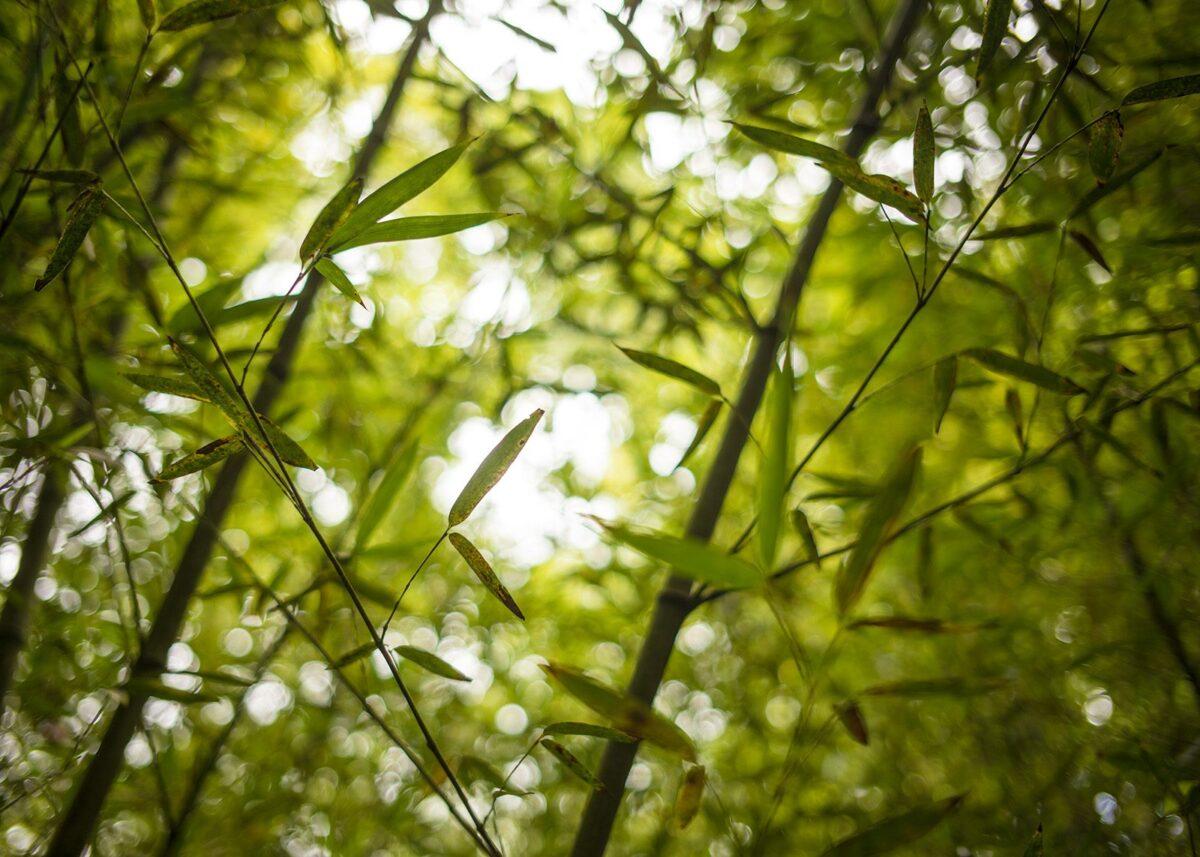 Bambusgrener, fotokunst veggbilde / plakat av Magne Tveiten