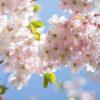 Kirsebærtre i blomstring av Magne Tveiten
