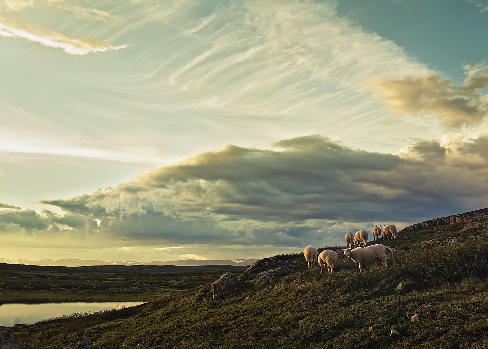Sauer på Hardangervidda av Peder Aaserud Eikeland