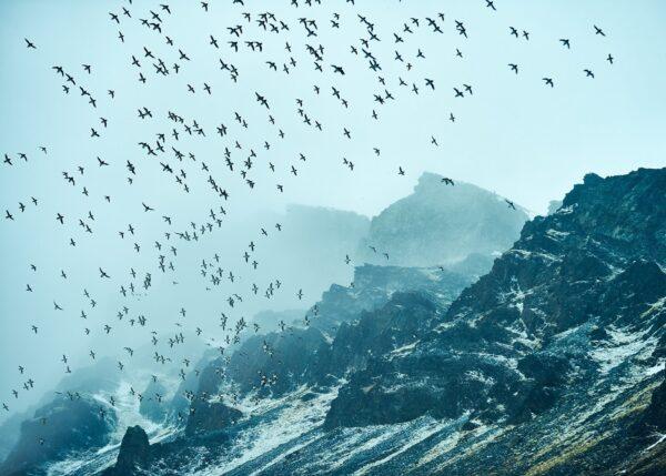 Fuglefjell på Spitsbergen, fotokunst veggbilde / plakat av Peder Aaserud Eikeland