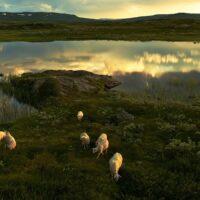 Sauer i solnedgang av Peder Aaserud Eikeland