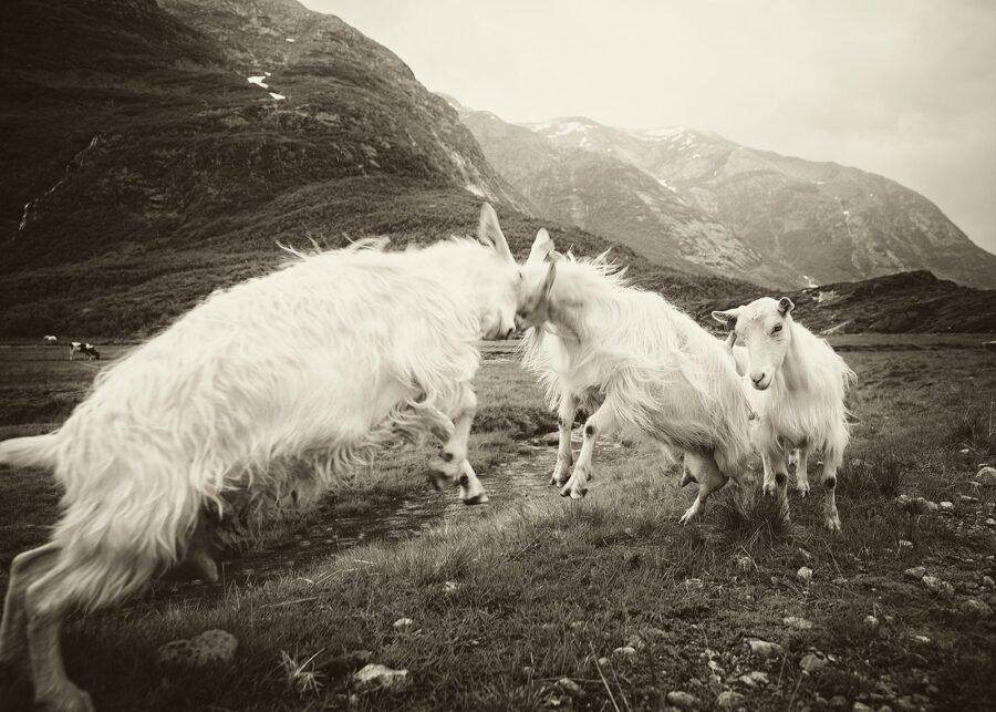 De fire bukkene Bruse II av Peder Aaserud Eikeland