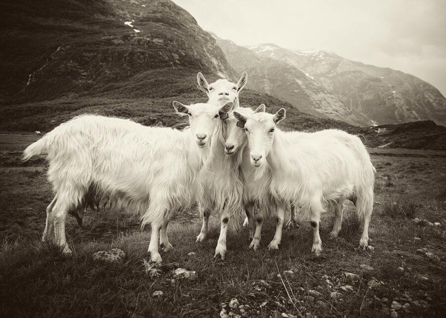 De fire bukkene Bruse IV av Peder Aaserud Eikeland