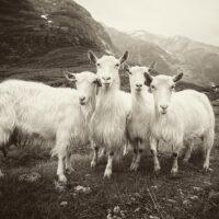 De fire bukkene Bruse V, fotokunst veggbilde / plakat av Peder Aaserud Eikeland
