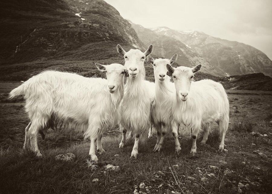 De fire bukkene Bruse V av Peder Aaserud Eikeland