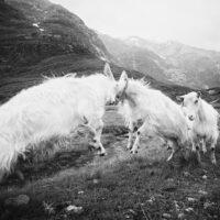 De fire bukkene Bruse II sort-hvitt, fotokunst veggbilde / plakat av Peder Aaserud Eikeland