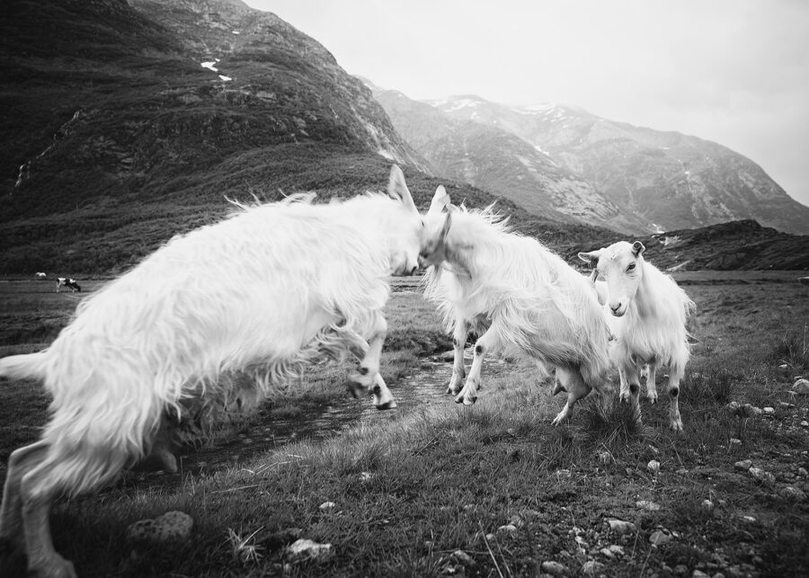 De fire bukkene Bruse II sort-hvitt av Peder Aaserud Eikeland