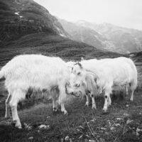 De fire bukkene Bruse III sort-hvitt, fotokunst veggbilde / plakat av Peder Aaserud Eikeland