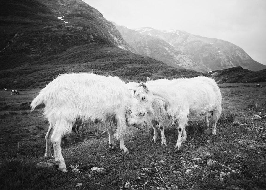 De fire bukkene Bruse III sort-hvitt av Peder Aaserud Eikeland