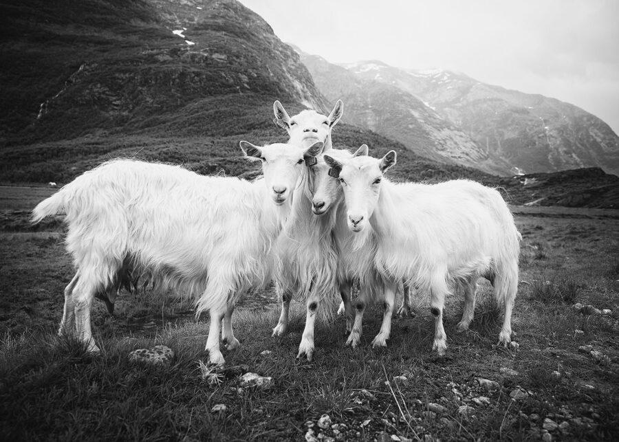 De fire bukkene Bruse IV sort-hvitt av Peder Aaserud Eikeland