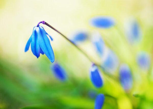 Scilla Sibirica blomster IV, fotokunst veggbilde / plakat av Peder Aaserud Eikeland