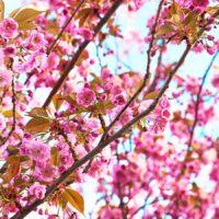 Tre med rosa blomster, fotokunst veggbilde / plakat av Peder Aaserud Eikeland