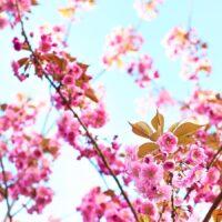Tre med rosa blomster av Peder Aaserud Eikeland