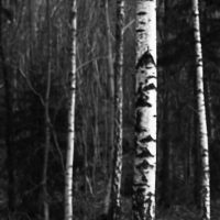 Bjørkestammer, fotokunst veggbilde / plakat av Peder Aaserud Eikeland