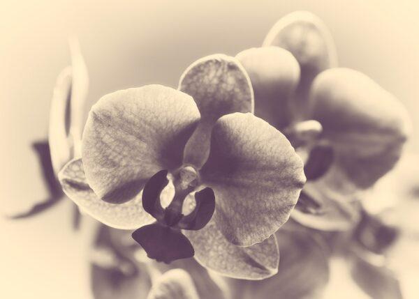 Retro orkide, fotokunst veggbilde / plakat av Peder Aaserud Eikeland