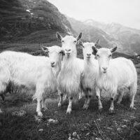 De fire bukkene Bruse V sort-hvitt, fotokunst veggbilde / plakat av Peder Aaserud Eikeland