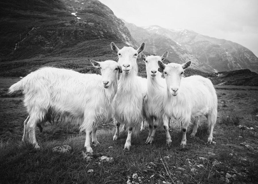 De fire bukkene Bruse V sort-hvitt av Peder Aaserud Eikeland