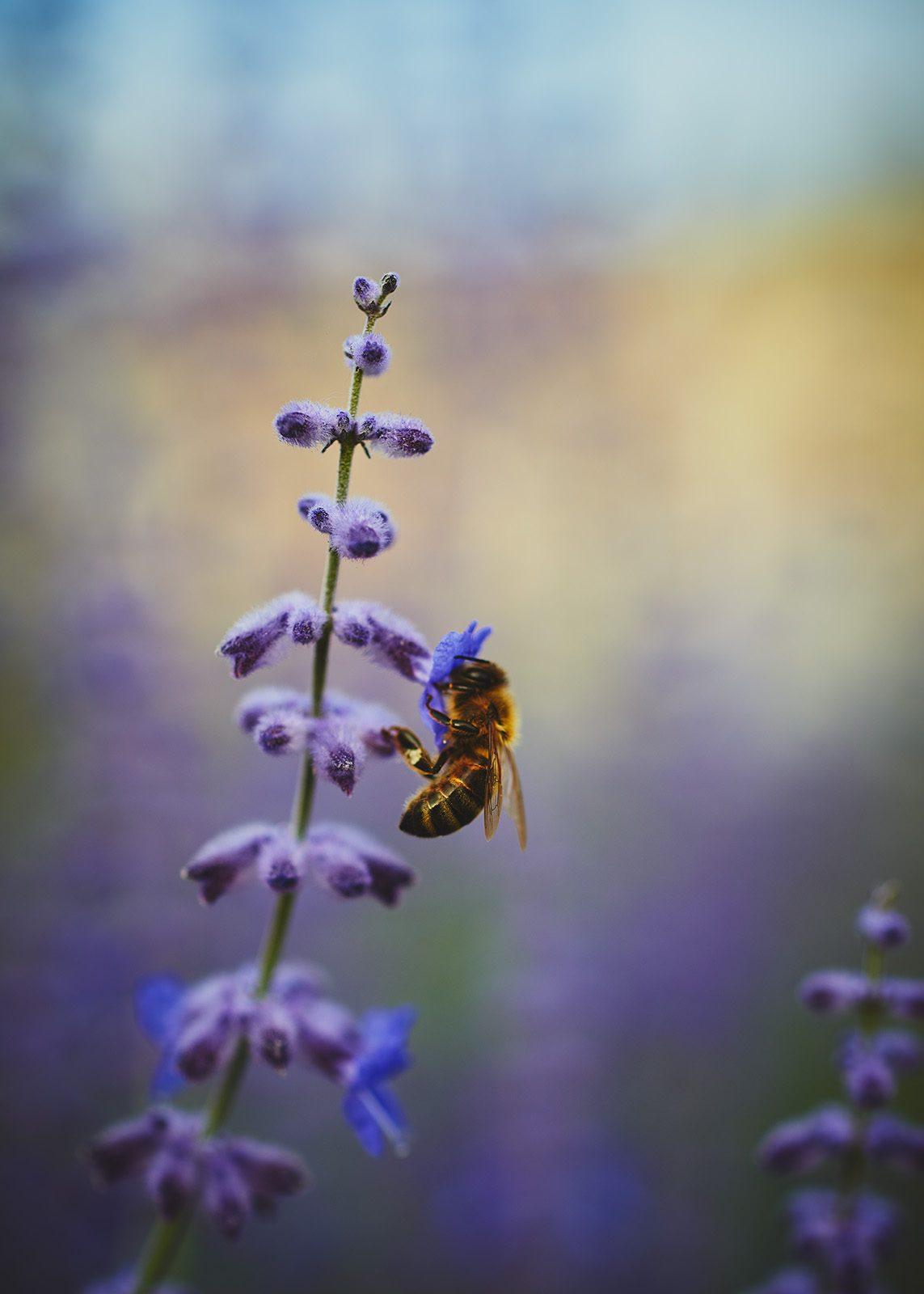 Bie på lavendel blomst nærbilde av Peder Aaserud Eikeland