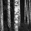 En rekke trær type bjørk skog sort hvitt, fotokunst veggbilde / plakat av Peder Aaserud Eikeland
