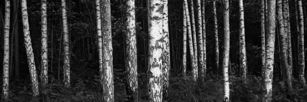 Bjørkeskog kontraster av Peder Aaserud Eikeland