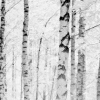 Bjørkeskogen på Bygdøy infrarødt lys, fotokunst veggbilde / plakat av Peder Aaserud Eikeland