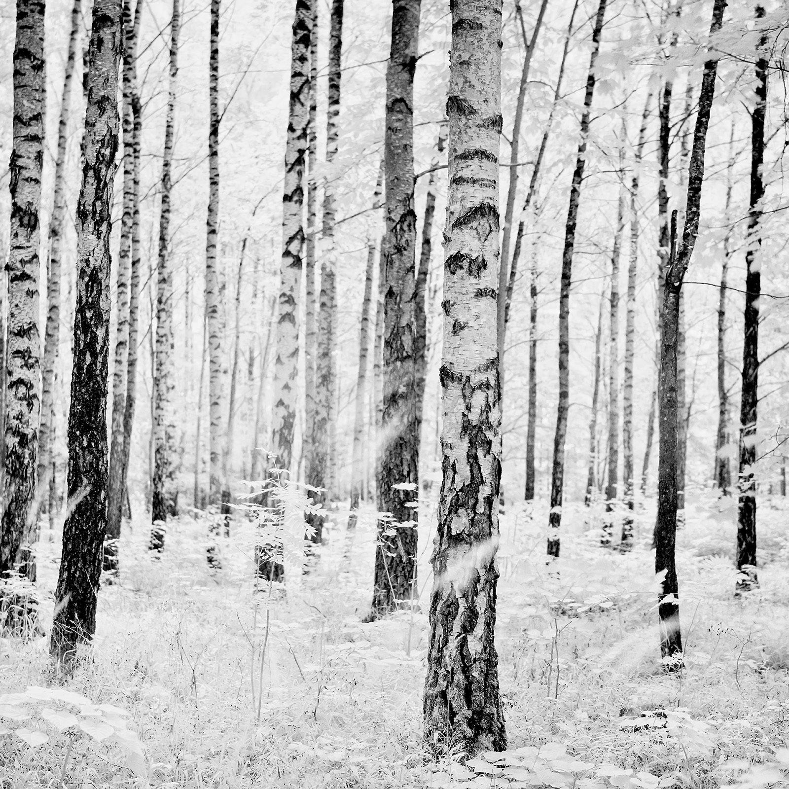 Bjørkeskogen på Bygdøy infrarødt lys av Peder Aaserud Eikeland