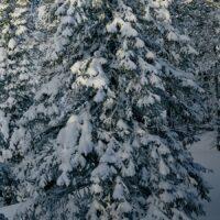 Vintergran, fotokunst veggbilde / plakat av Peder Aaserud Eikeland