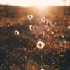 Bomullsblomster i kveldssol, fotokunst veggbilde / plakat av Tor Arne Hotvedt