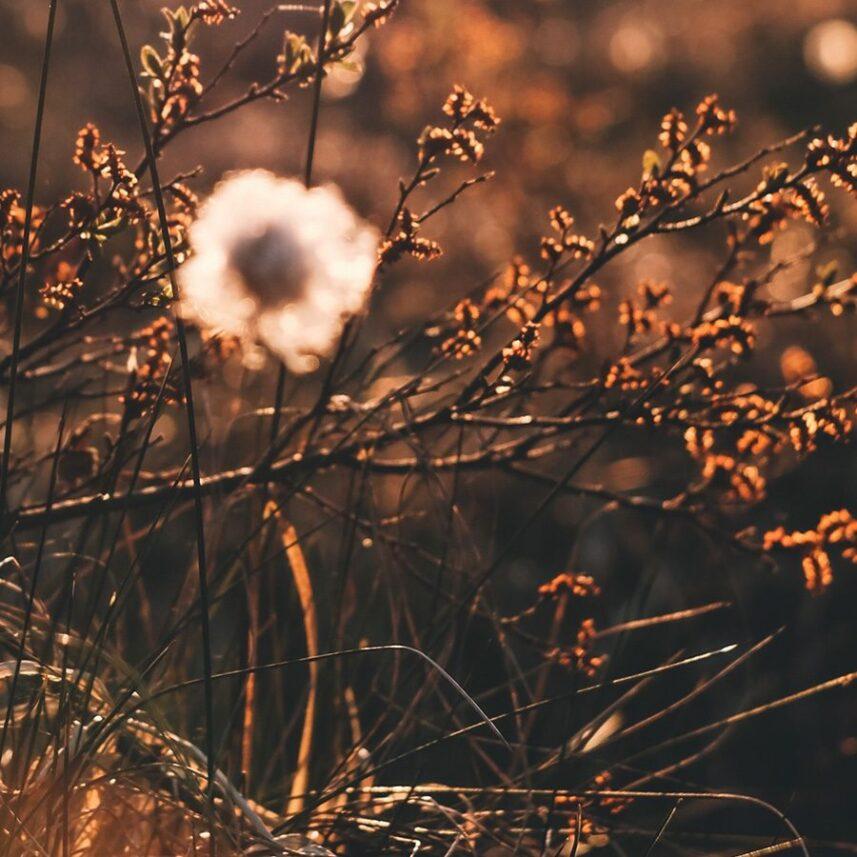 Bomullsblomster i kveldssol av Tor Arne Hotvedt