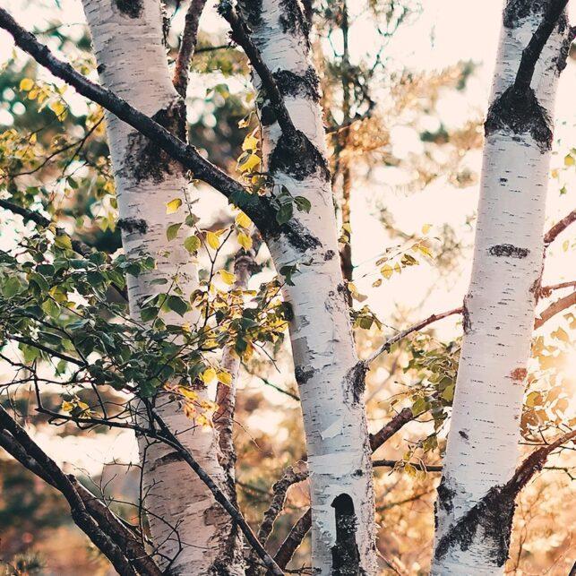 Bjørketrær med hvit bark og kveldssol i bakgrunnen, fotokunst veggbilde / plakat av Tor Arne Hotvedt