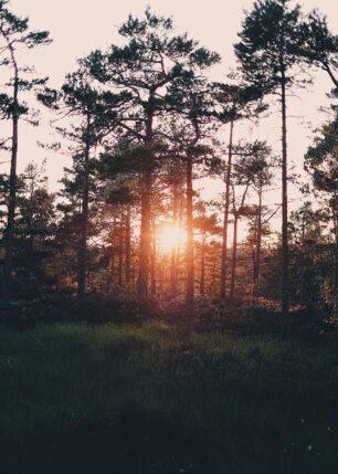 Kveldssol gjennom trær i norsk skog, fotokunst veggbilde / plakat av Tor Arne Hotvedt