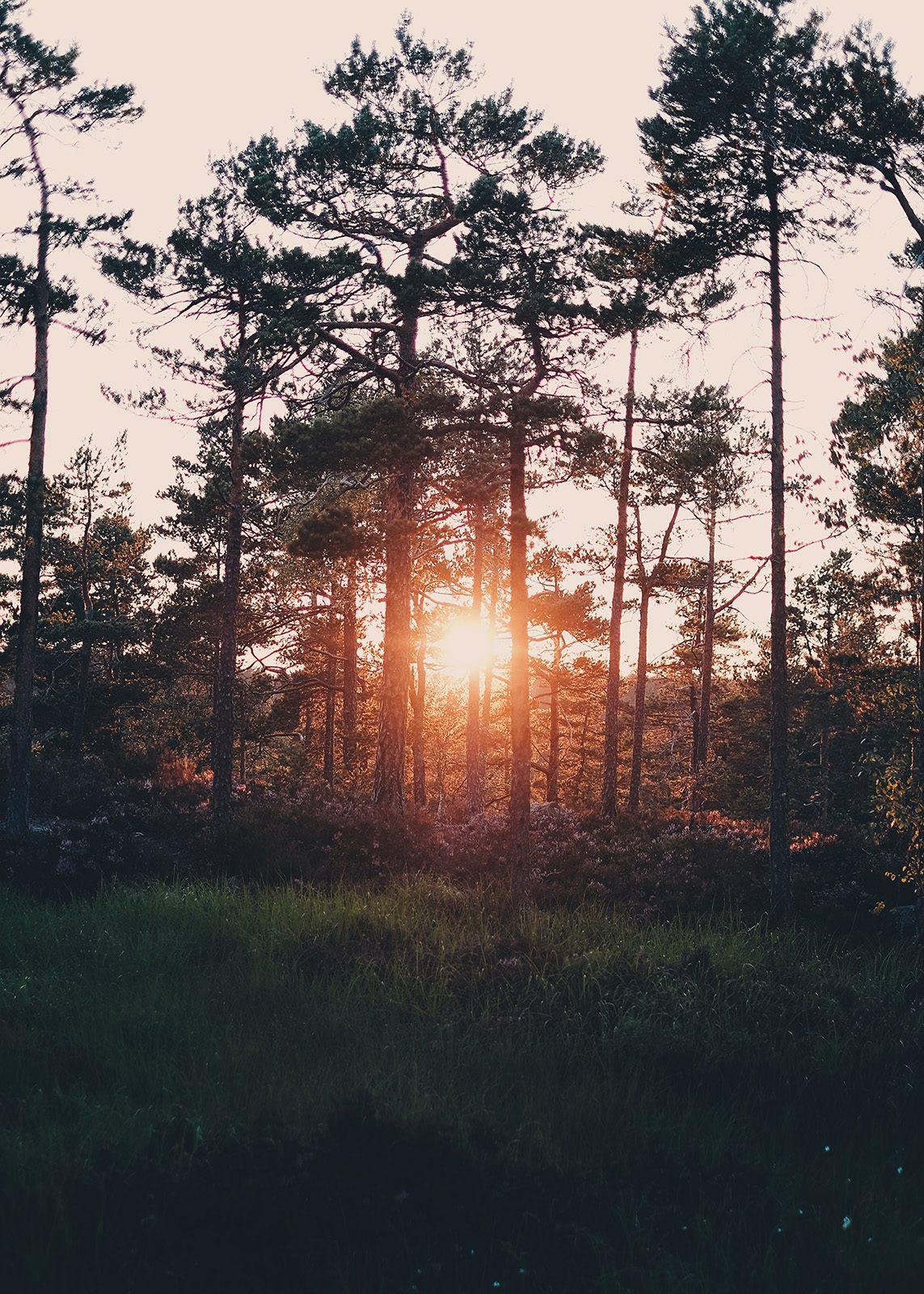 Kveldssol i skogen av Tor Arne Hotvedt