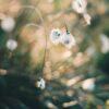 Bomullsblomster som svaier i solskinn, fotokunst veggbilde / plakat av Tor Arne Hotvedt