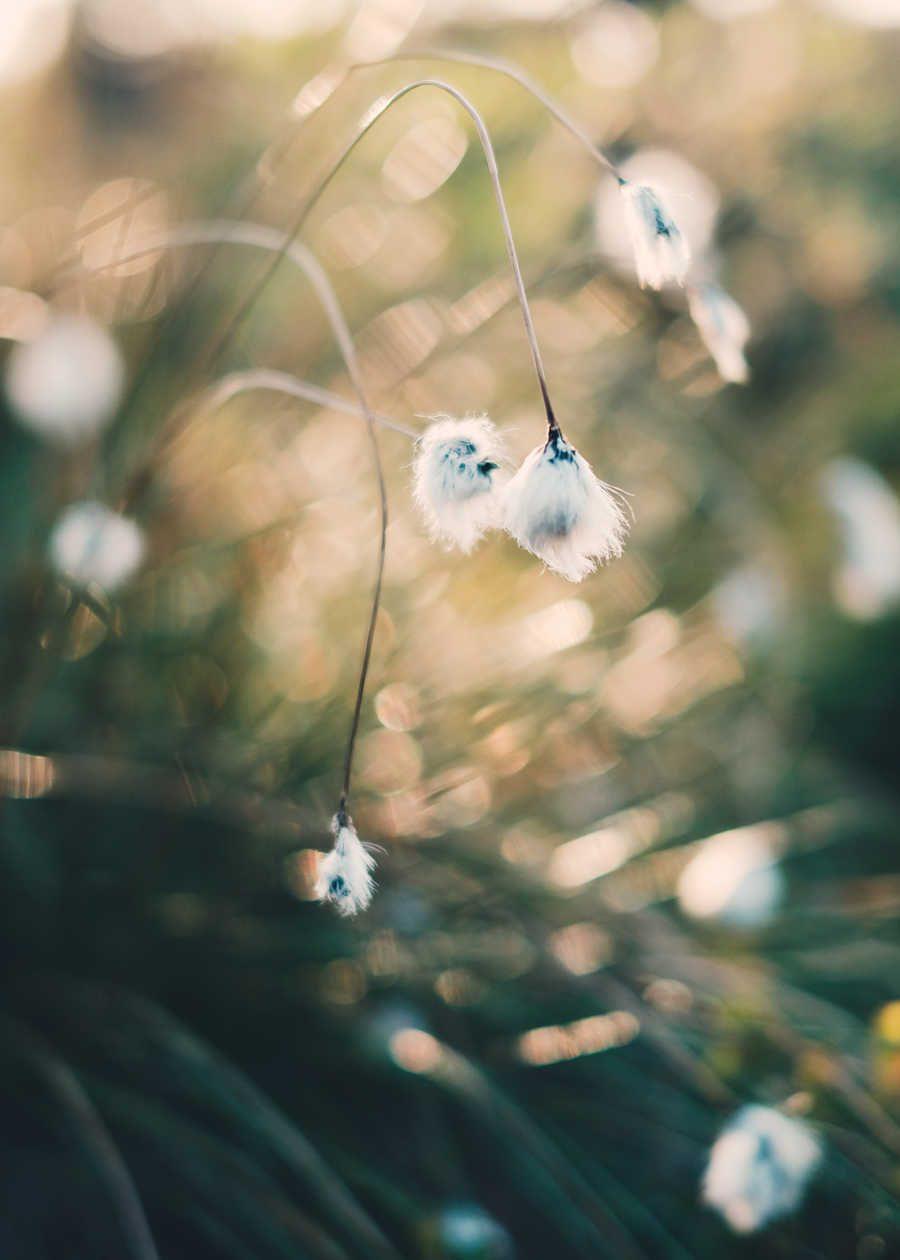Bomullsblomster i solskinn av Tor Arne Hotvedt