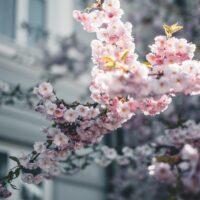 Kirsebærblomstring på Tøyen i Oslo, fotokunst veggbilde / plakat av Tor Arne Hotvedt