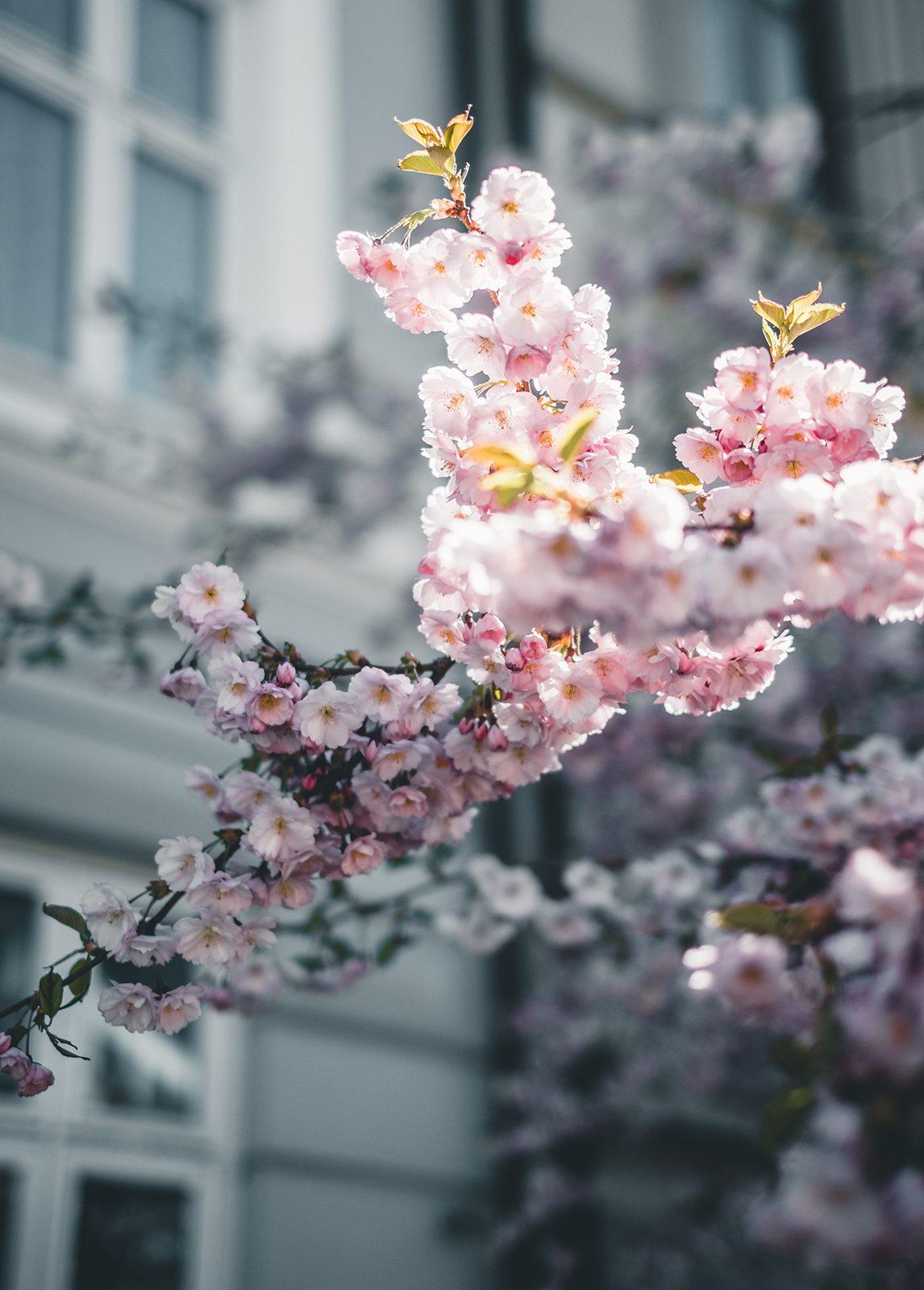 Kirsebærblomstring I av Tor Arne Hotvedt