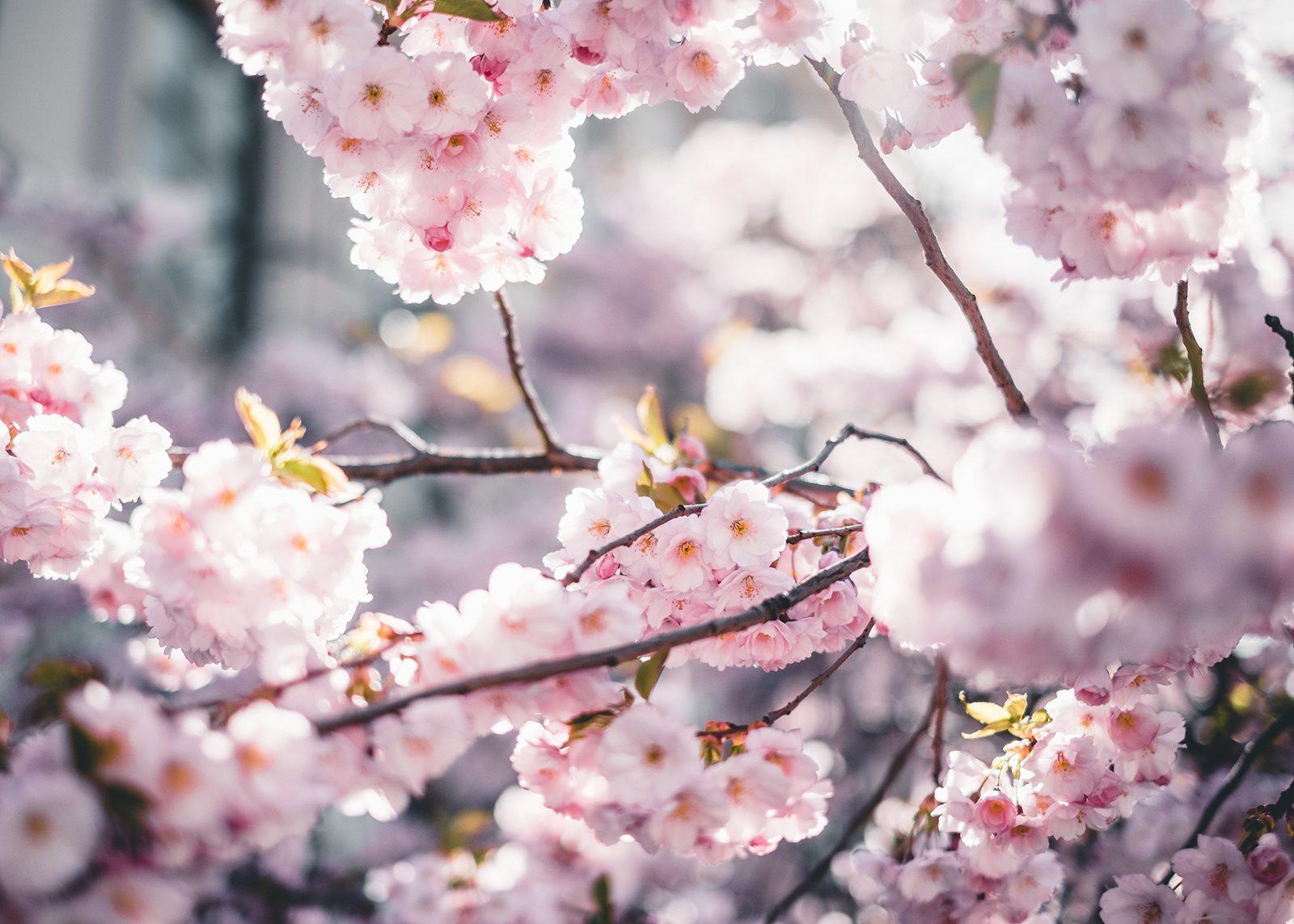 Kirsebærblomstring II av Tor Arne Hotvedt