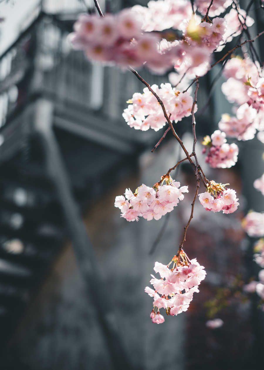 Kirsebærblomstring III av Tor Arne Hotvedt
