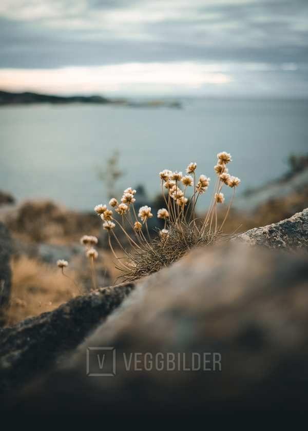 Blomster på svaberget av Tor Arne Hotvedt
