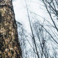 Et blikk oppover et tre i skogen i tåke, fotokunst veggbilde / plakat av Tor Arne Hotvedt