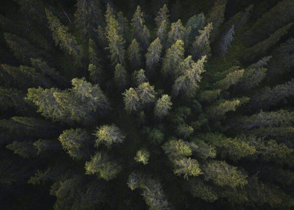 Dronebilde av furuskog ovenfra, fotokunst veggbilde / plakat av Tor Arne Hotvedt