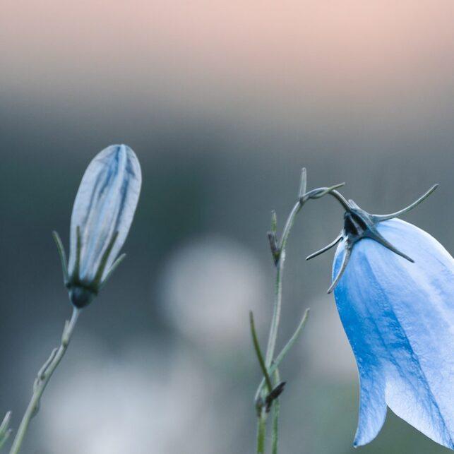 Blomster på fjellet i solnedgang, fotokunst veggbilde / plakat av Tor Arne Hotvedt