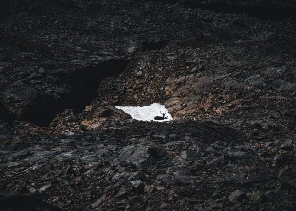 Reinsdyr på en snøflekk i Jotunheimen, fotokunst veggbilde / plakat av Tor Arne Hotvedt